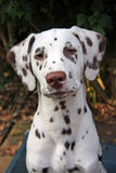 Dalmatian. Portrait of a cute dalmatian puppy in close up royalty free stock photo