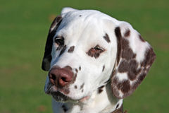 Dalmatian. Portrait of a cute dalmatian puppy in close up stock photo
