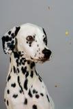 dalmatian Foto de archivo