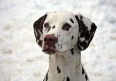 Dalmatian. Portrait of a cute little Dalmatian puppy in close-up with a snowy background stock images