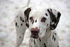 Dalmatian. Portrait of a cute little Dalmatian puppy in close-up with a snowy background stock image