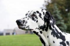 dalmatian Zdjęcie Royalty Free