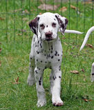 Dalmatian. Cute little Dalmatian puppy dog standing on the grass royalty free stock photo