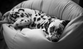 dalmatian Fotografia Stock