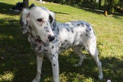 dalmatian Arkivbild