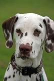 Dalmatian. Portrait of a beautiful Dalmatian in close-up royalty free stock images