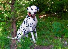 Dalmatian in aanval Stock Foto's