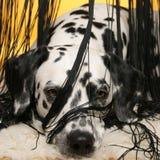Dalmatian achter het gordijn Royalty-vrije Stock Foto's