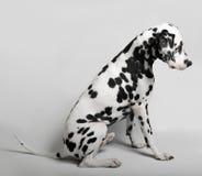 Dalmatian admitted his guilt Stock Photos