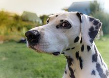 Dalmatian adult dog close-up royalty free stock image