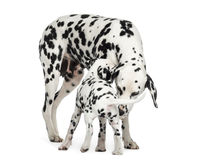 Dalmatian adult and puppy sniffing each other, isolated Stock Photos