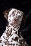 Dalmatian attento Fotografia Stock