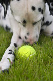 Dalmatian with a ball. Dalmatian is trying to catch a ball in the garden Royalty Free Stock Photo