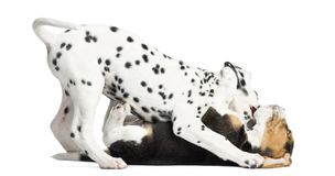 Dalmatian and Beagles puppies playing together. Isolated on white stock photography