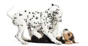 Dalmatian and Beagles puppies playing together. On white stock images