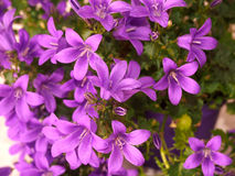 Dalmatian bellflower (Campanula Portenschlagiana) Stock Photos