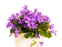 Dalmatian bellflower (Campanula Portenschlagiana) Royalty Free Stock Images
