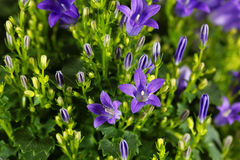 Dalmatian bellflower Campanula portenschlagiana Royalty Free Stock Images