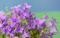 Dalmatian bellflower (Campanula portenschlagiana) Royalty Free Stock Image