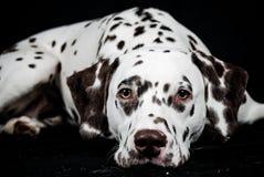 Dalmatian, bevlekte lever. het liggen Royalty-vrije Stock Foto