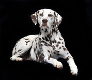 Dalmatian on black Stock Photos