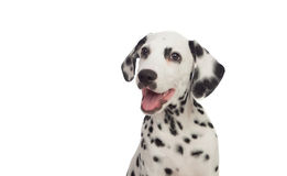 Dalmatian bonito com preto manchado Imagens de Stock
