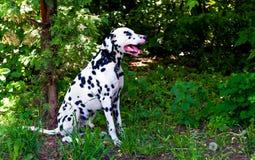 Dalmatian in bos Stock Foto's