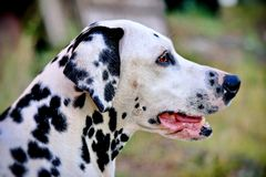 Dalmatian is a breed of dogs bred in Croatia. Dogs that have stains in color and are very similar to modern Dalmatians. Were known even in ancient times royalty free stock images
