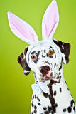 Dalmatian with bunny ears Stock Images