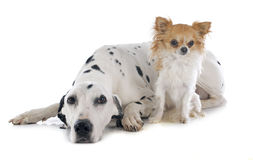 Dalmatian and chihuahua Stock Photo