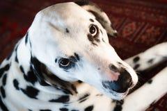 Dalmatian Close-Up Stock Photography