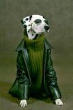 Dalmatian com história para dentro Fotografia de Stock Royalty Free