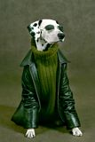 Dalmatian con la storia all'interno Fotografia Stock Libera da Diritti