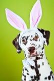 Dalmatian con los oídos del conejito imagenes de archivo