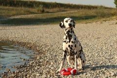 Dalmatian con su juguete en una orilla del lago Imagen de archivo libre de regalías
