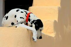 Dalmatian con un collar rojo Fotos de archivo