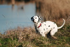 Dalmatian crouching Stock Photo