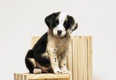 Dalmatian de la mezcla del perrito Fotografía de archivo