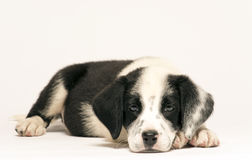 Dalmatian de la mezcla del perrito Fotografía de archivo libre de regalías