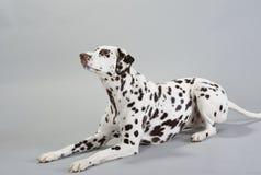 Dalmatian del perro Imagen de archivo libre de regalías