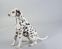 Dalmatian del perro Fotografía de archivo