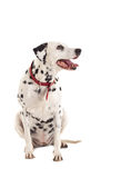 Dalmatian die aan een kant kijkt royalty-vrije stock fotografie