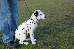 Dalmatian do filhote de cachorro Imagem de Stock Royalty Free