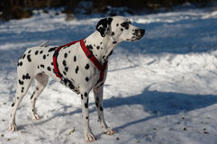 Dalmatian Dog in the Snow. Without his big mouth open this young vivid dalmatian dog looked quite peacefully stock photo