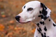 Dalmatian dog. Portrait yellow autumn background Stock Image