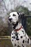 Dalmatian dog. Guarding the entrance stock images