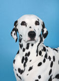 Dalmatian dog. Portrait in front of blue background Royalty Free Stock Photo