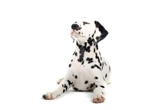 Free Dalmatian Dog Royalty Free Stock Photo - 2866275