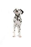 Dalmatian dog. A view of a black and white Dalmatian dog standing isolated against a white background royalty free stock photography