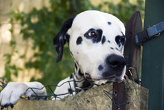 Dalmatian dog. A dalmatian dog looking beyond the fence. A beautiful Dalmatian dog head portrait with cute expression Royalty Free Stock Images